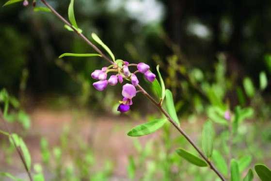 Securidaca longipedunculata