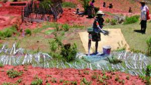 Le desmodium Madagascar