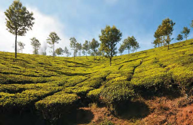 Plantations de café au Kenya