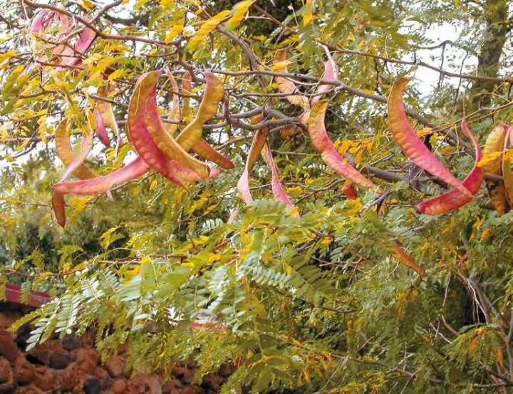 Févier d'Amérique (Gleditsia triacanthos)