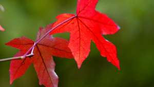 Les feuilles automnales