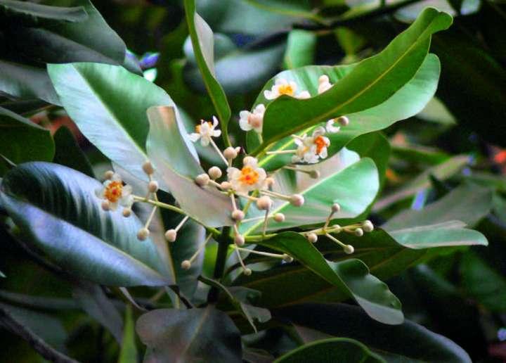 Calophylle ou takamaka