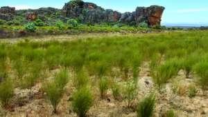 Afrique du sud - Le rooibos