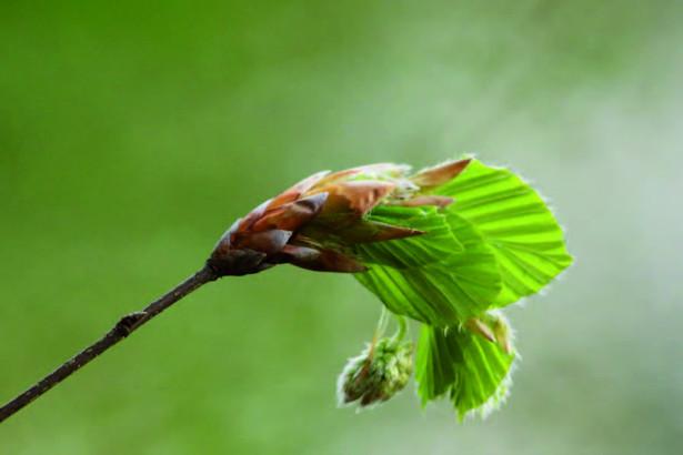Le bourgeon de hêtre
