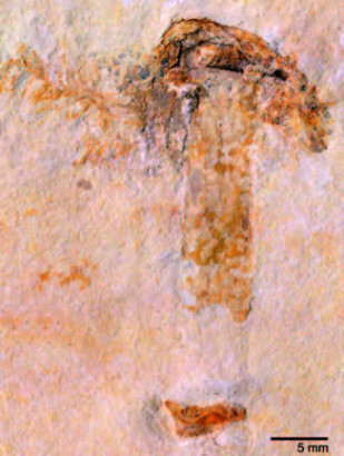 Champignon fossile