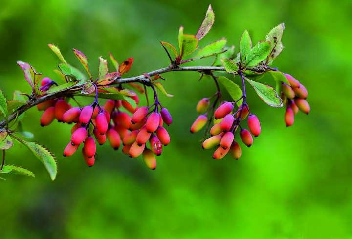 Épine-vinette, berberis vulgaris