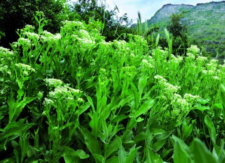 Le brocoli sauvage
