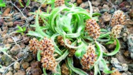 Psyllium blond ou plantain des Indes, Plantago ovata