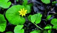 Ficaire fausse-renoncule (Ficaria verna, Ficaria ranunculoides ou Ranunculus ficaria)