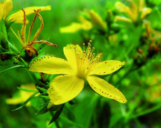 Millepertuis, Hypericum perforatum