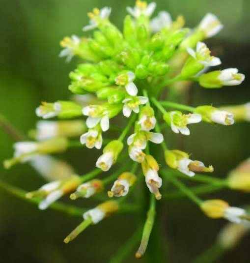 Arabette des dames, Arabidopsis thaliana