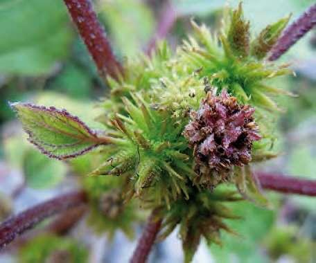Lampourde d'orient, Xanthium strumarium L.
