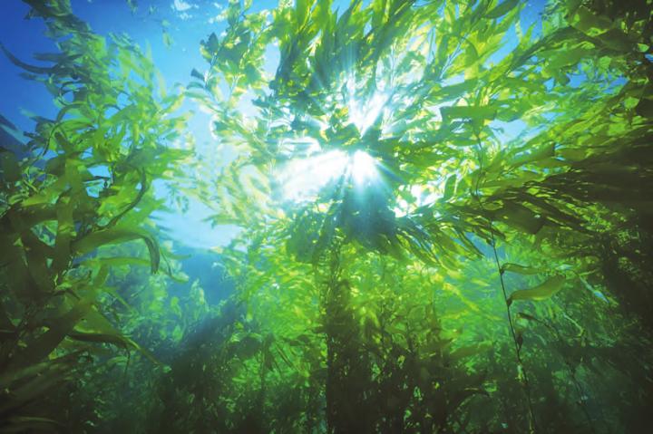 Une forêt flottante survivante