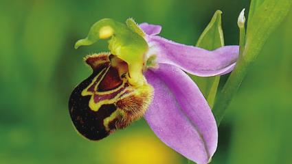 La migration des fleurs sauvages inquiète les chercheurs