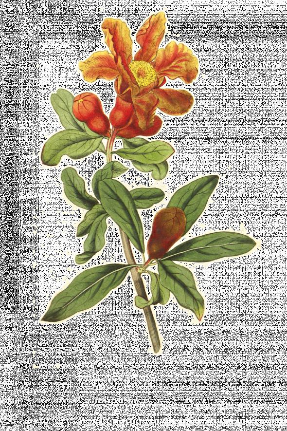 Grenadier (punica granatum)