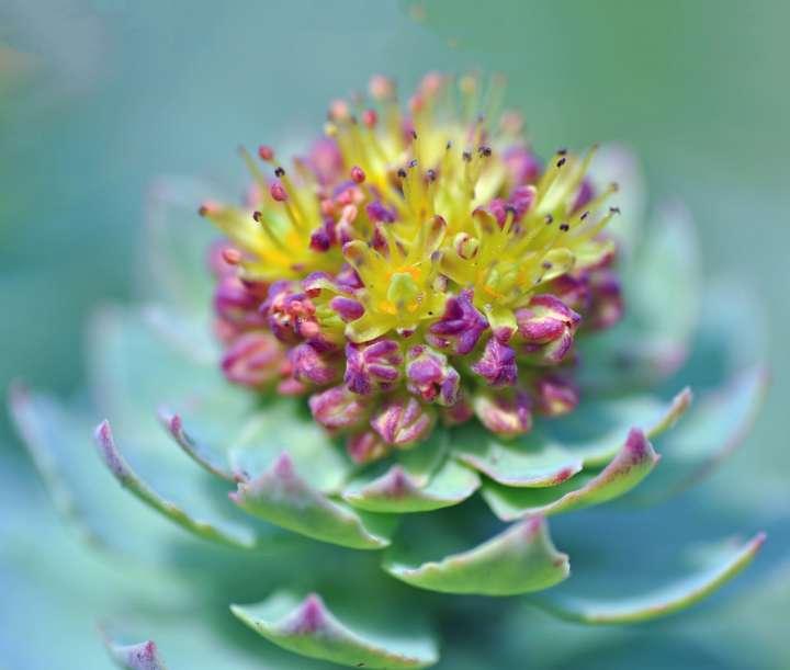 Rhodiole, Rhodiola rosea