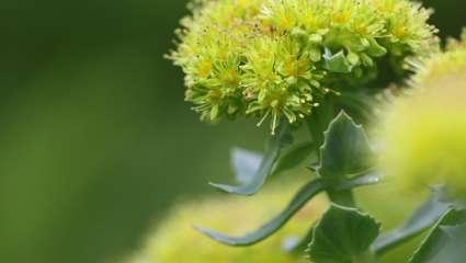 Orpin rose, Rhodiola rosea