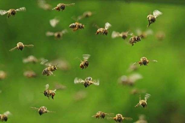 Ronflement des abeilles