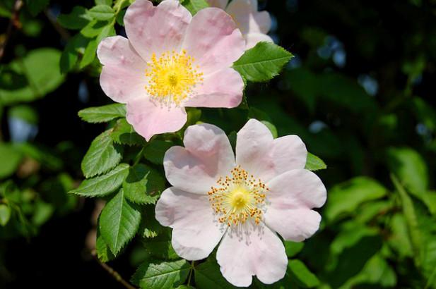L Huile De Rose Musquee Plus Qu Une Huile De Beaute Plantes Et Sante