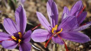 Crocus sativus (Safran)