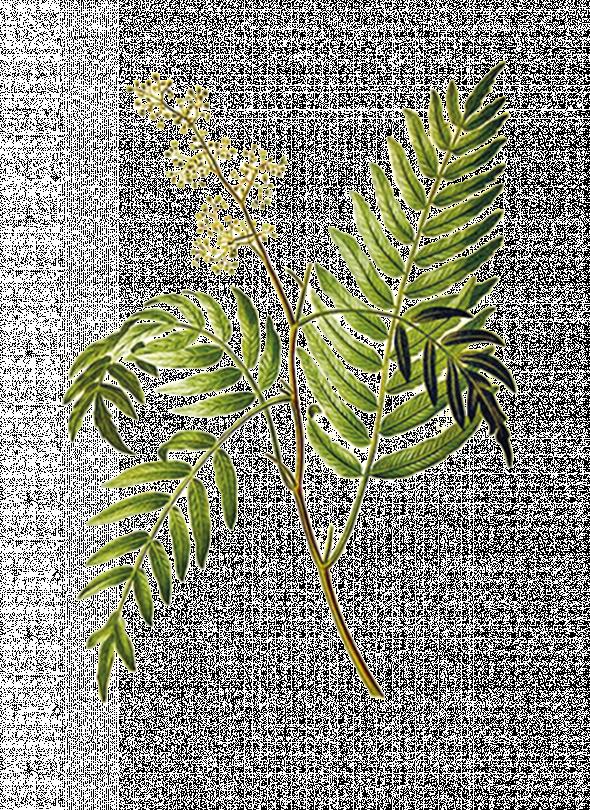 Schinus molle, faux poivrier odorant ou poivrier de Californie