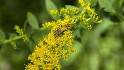 verge d'or du Canada (Solidago altissima)