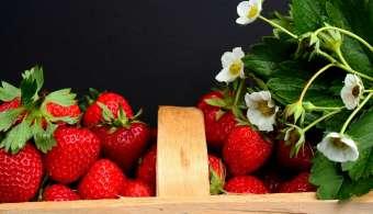 Plantes médicinales : Le fraisier, comment y résister !