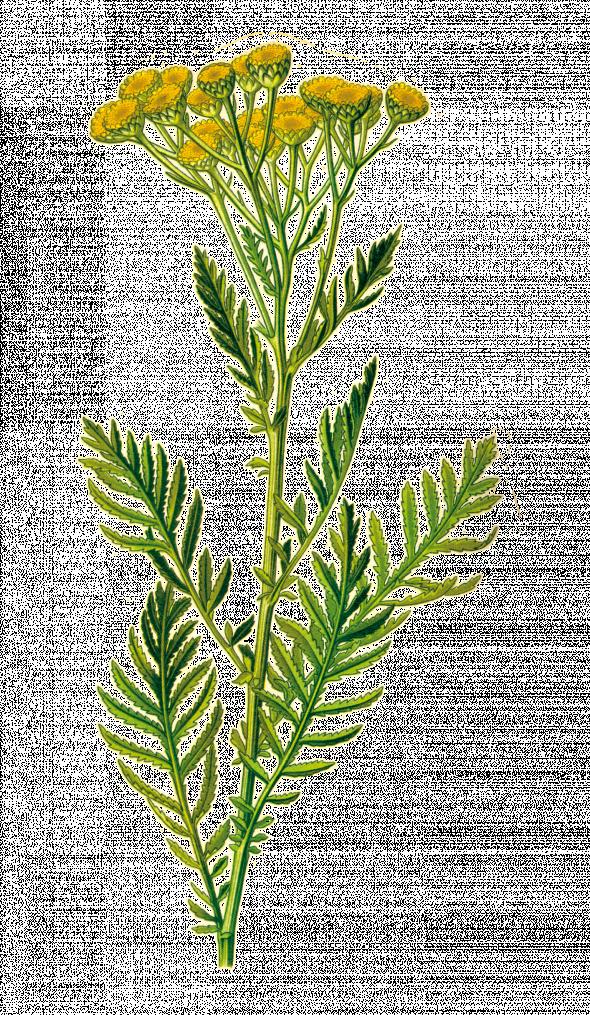 Tanaisie (Tanacetum vulgaris)