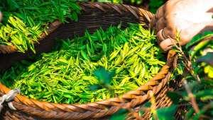 thé vert obésité
