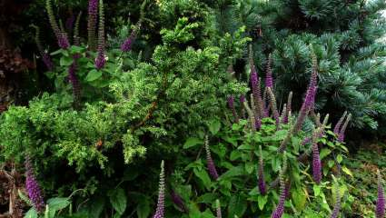 La germandrée iranienne (Teucrium hyrcanicum)