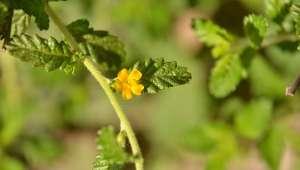 Damiana, Turnera diffusa