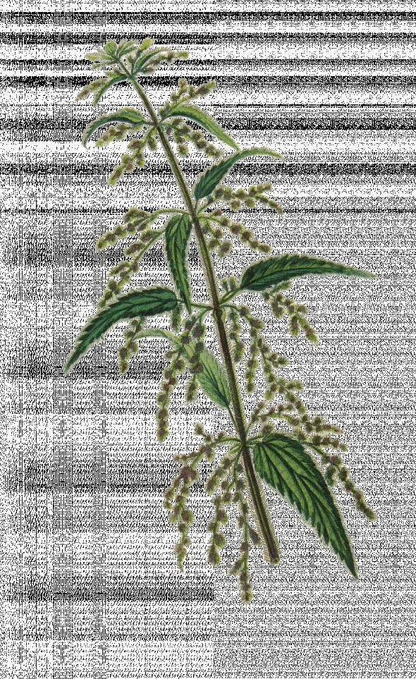 grande ortie (urtica dioica)