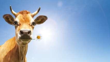 Interdire l'herbe  aux vaches ?