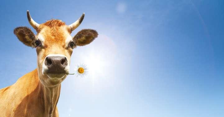 Interdire l'herbe aux vaches ? - Plantes et Santé