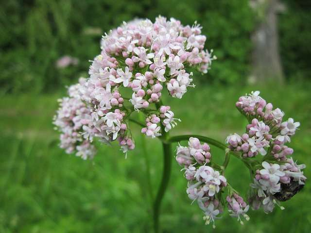 Valerian - The plant that fights stress - Plants and Health