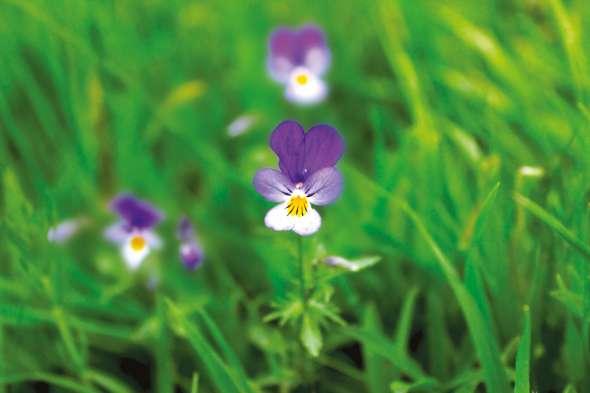 Pensée sauvage, Viola tricolor