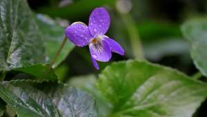 Violette (Viola odorata)